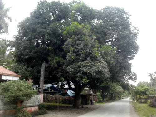 Heritage Mango